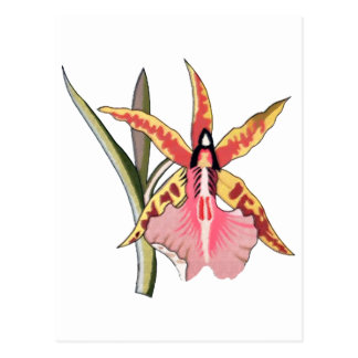 Colorful Cattleya Orchis Sketch Pastels & Ink Postcard