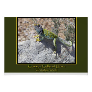 Colorful Collared Lizard Poster