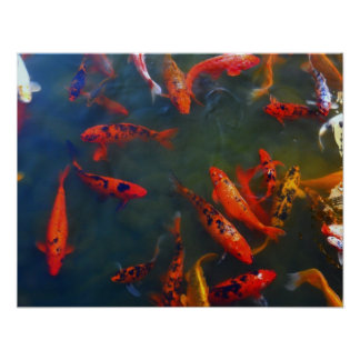 Colorful Coy Fish Poster