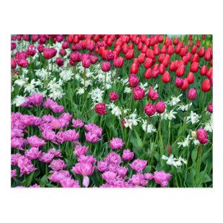Colorful daffodils and tulips print postcard