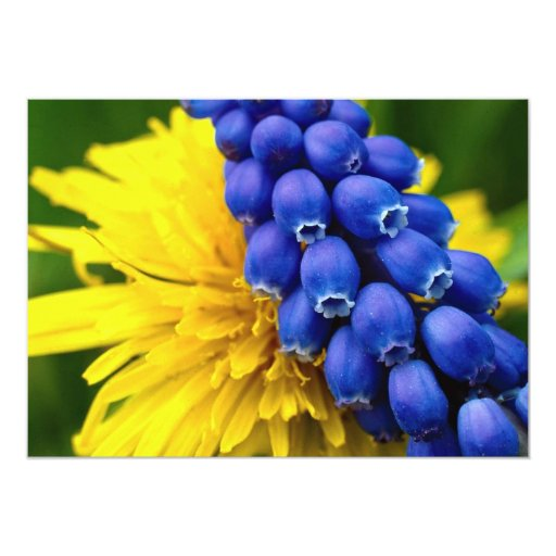 Colorful Dandelions and Muscari, Quebec, Canada 5x7 Paper Invitation Card