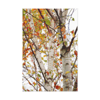 Colorful Fall Birch Trees Orange Red Yellow Leaves Canvas Print