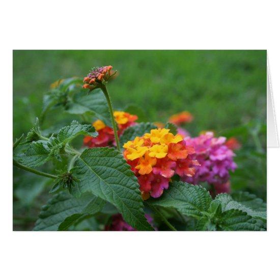 [Colorful Flowers] Lantana camara - Greeting Card