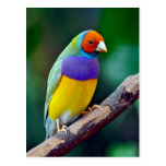 Colorful gouldian finch postcards