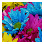 Colorful Hot Pink Teal Blue Gerber Daisies Flowers Poster