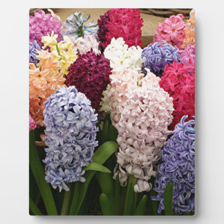 Colorful Hyacinth flowers in bloom 1 Photo Plaque