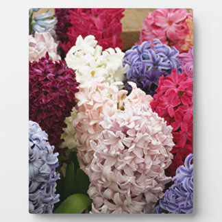 Colorful Hyacinth flowers in bloom 2 Photo Plaques