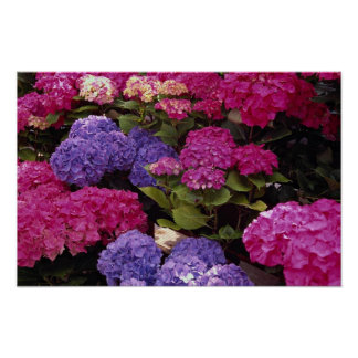 Colorful Hydrangea Poster