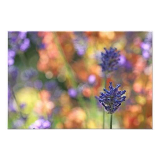 Colorful Lavender Garden Photo
