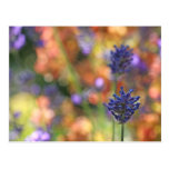 Colorful Lavender Garden Photo Post Card