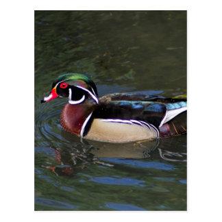Colorful Male Wood Duck - Aix sponsa Postcard