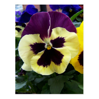 Colorful Pansy Postcard