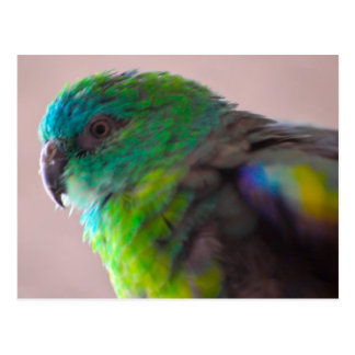 Colorful-parrot-plumage707 PARROT BIRD EXOTIC TEAL Postcard