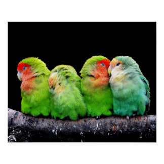 Colorful Parrots Poster