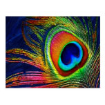 Colorful Peacock Feather Print Postcard