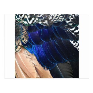 colorful peacock feathers postcard