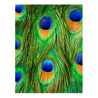 Colorful Peacock Feathers Print Post Cards