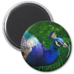 Colorful Peacock Fridge Magnets