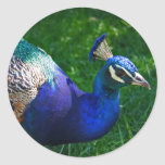 Colorful Peacock Round Stickers