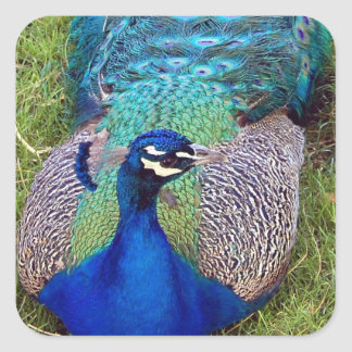 Colorful Peafowl  Stickers