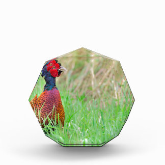 Colorful pheasant rooster upright in green meadow award