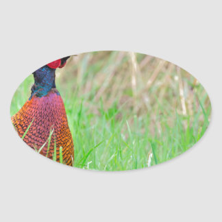 Colorful pheasant rooster upright in green meadow oval sticker