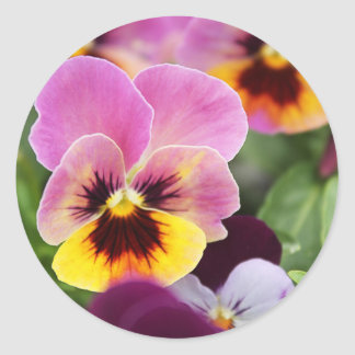 Colorful Pink and Yellow Pansy Flower Classic Round Sticker