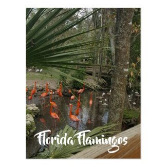 Colorful Pink Florida Flamingos postcard