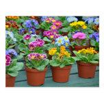 Colorful primroses print postcard