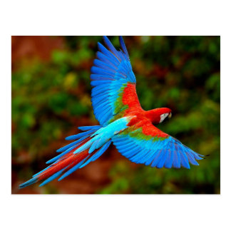 Colorful Scarlet Macaw in flight Postcard