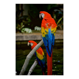 Colorful Scarlet Macaws Poster