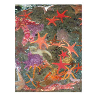 Colorful Sea Stars Postcard