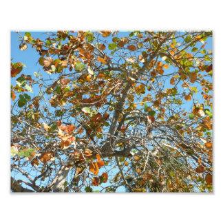 Colorful seagrape tree against blue florida sky photographic print