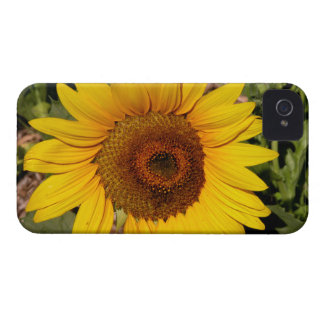 Colorful Sunflower iPhone 4 Case-Mate Cases