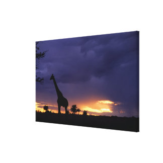 Colorful sunset late afternoon image of safari stretched canvas prints