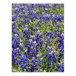 Colorful Texas Bluebonnets - Lupinus texensis Postcard