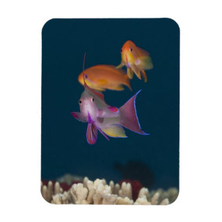 Colorful tropical Anthias, Underwater Life Magnet