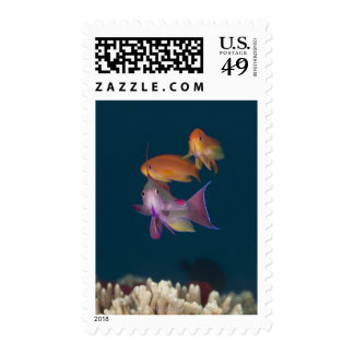Colorful tropical Anthias, Underwater Life Postage Stamp