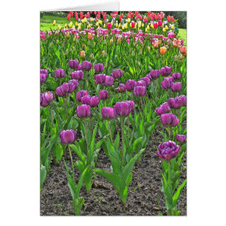COLORFUL TULIP BED/MAGENTA,PINK, YELLOW, RED TULIP CARD