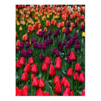 Colorful tulip flower garden postcard