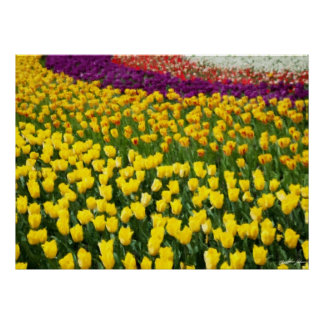 Colorful Tulips 2 Poster
