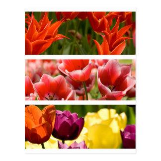 Colorful Tulips Postcard