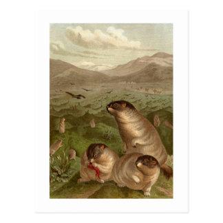 Colorful vintage marmot illustration card