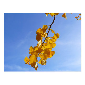 Colors of Autumn Gingko leaves Postcard