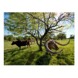 Colossol Texas Longhorn Cattle Postcard