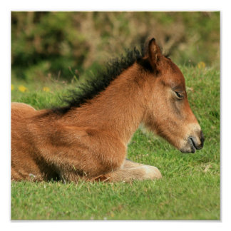Colt Resting in Grass Print
