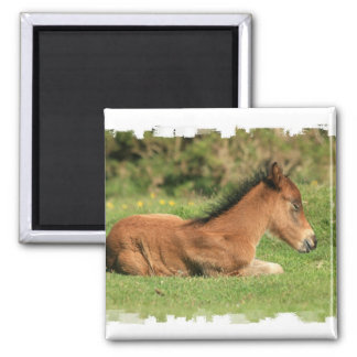 Colt Resting in Grass Square Magnet Magnets