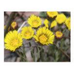 Coltsfoot (Tussilago farfara) Flowers Postcard