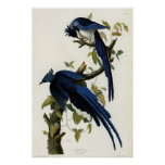 Columbia Jay Birds of America by James Audubon Poster