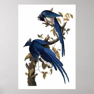 Columbia Jay el   John James Audubon Póster